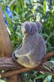 Koala eating leafs on the tree Royalty Free Stock Photos