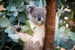 Koala eating leaves up a gum tree stock images