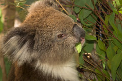 Koala eating portrait Stock Image