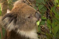 Koala eating portrait Stock Image