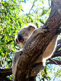 Koala in een Boom royalty-vrije stock fotografie