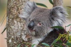 Koala in een boom die de camera bekijken royalty-vrije stock fotografie