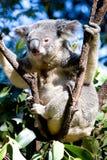 Koala in einem Baum lizenzfreies stockbild