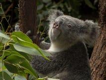 Koala in einem Eukalyptus, der oben schaut lizenzfreies stockfoto