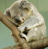 Koala el dormir Foto de archivo libre de regalías