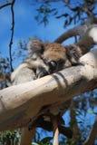 Koala el dormir Imagenes de archivo