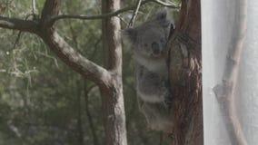 Koala el dormir en una ramificación metrajes