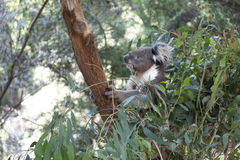 Koala em um tronco de árvore fotos de stock