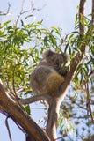 Koala em uma árvore imagens de stock
