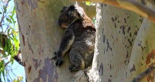 Koala en árbol metrajes