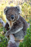 Koala en árbol Fotos de archivo libres de regalías