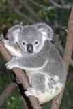 Koala en árbol Imagenes de archivo