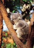 Koala en árbol Imagen de archivo libre de regalías