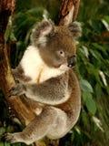 Koala en árbol foto de archivo libre de regalías