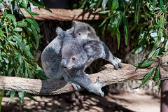 Koala en baby Royalty-vrije Stock Afbeeldingen
