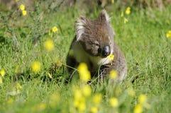 Koala en de bloem Stock Foto