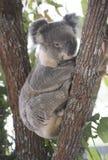 Koala en haut d'un arbre de gomme australien Image stock