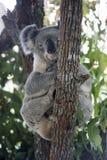 Koala en haut d'un arbre de gomme australien Images stock