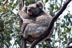Koala en la isla del canguro Fotos de archivo