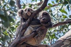 Koala en la isla del canguro Foto de archivo libre de regalías