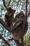 Koala en la isla del canguro Foto de archivo