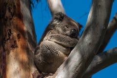 Koala en la isla del canguro Imagen de archivo