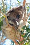 Koala en la reclinación salvaje/que duerme en los árboles de eucalipto en el cabo Otway en Victoria Australia Fotografía de archivo libre de regalías