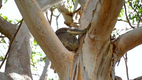 Koala en los parques de Australia del árbol almacen de metraje de vídeo