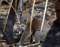 Koala en maleza quemada Foto de archivo
