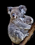 Koala en mum Stock Afbeelding