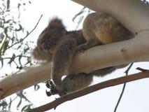 Koala en nuestro patio trasero en Gumtree Fotografía de archivo libre de regalías