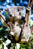 Koala en un árbol imagen de archivo libre de regalías
