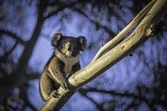 Koala en un árbol Imágenes de archivo libres de regalías