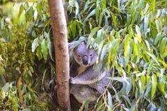 Koala en un árbol Fotos de archivo libres de regalías