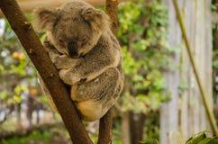 Koala en un tronco Foto de archivo libre de regalías