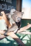 Koala en una rama Fotografía de archivo