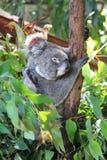 Koala encantador em uma árvore fotos de stock royalty free