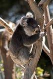 Koala encima del árbol Imagenes de archivo