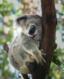 Koala encrespada encima de dormido en árbol Imagen de archivo libre de regalías