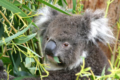 Koala-Essen lizenzfreie stockbilder