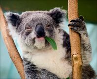 The koala in eucalyptus branches. The koala sits on a tree and moving apart eucalyptus branches looks round around Royalty Free Stock Image