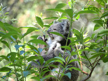 Koala among Eucalyptus leaves. Koala among Eucalyptus tree leaves stock photo