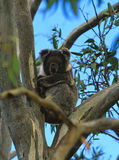 Koala in Eucalyptus Tree. A feeding Koala bear in a eucalyptus tree Stock Image