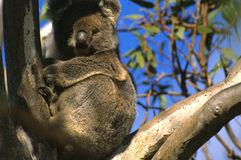 Koala in Eucalyptus Tree Royalty Free Stock Images