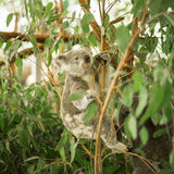 Koala in a eucalyptus tree. Royalty Free Stock Image
