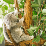 Koala in a eucalyptus tree. Stock Photos