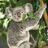 Koala in a eucalyptus tree. Royalty Free Stock Photos