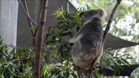 A koala on an eucalyptus tree