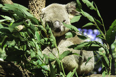 A Koala In An Eucalyptus Tree. She posed for me for a second and went back to sleep stock photography
