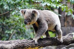 Koala on eucalyptus tree. Royalty Free Stock Images
